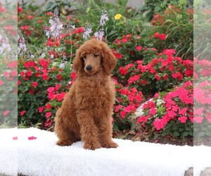 Poodle (Standard) Puppy for Sale in GAP, Pennsylvania USA
