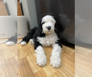 Sheepadoodle Puppy for sale in WA KEENEY, KS, USA