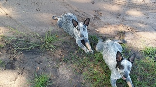 Australian Cattle Dog Puppy For Sale in YORKTOWN, TX