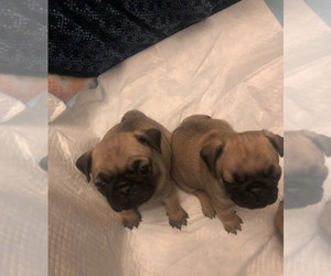 Pug Puppy for sale in LITTLE FALLS, NJ, USA