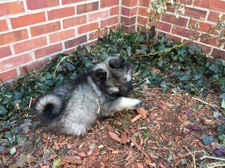 Keeshond Puppy For Sale in DENVER, CO
