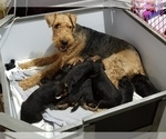 Puppy 6 Airedale Terrier