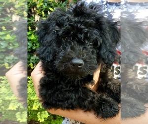 Goldendoodle-Poodle (Miniature) Mix Dog for Adoption in DAPHNE, Alabama USA