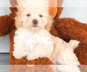 Maltipoo Puppy for sale in CLEVELAND, NC, USA