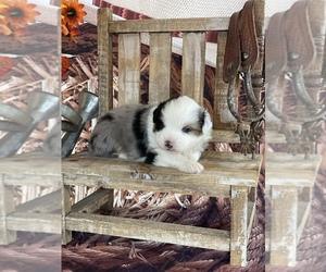 Miniature American Shepherd Puppy for sale in LA SALLE, CO, USA