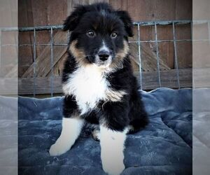 Australian Shepherd Puppy for sale in LINDEN, TN, USA