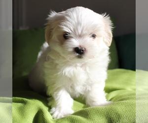 Maltese Puppy for sale in JUNIPER HILLS, CA, USA