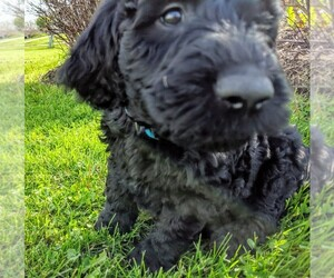 Goldendoodle Puppy for Sale in ROSCOE, Illinois USA
