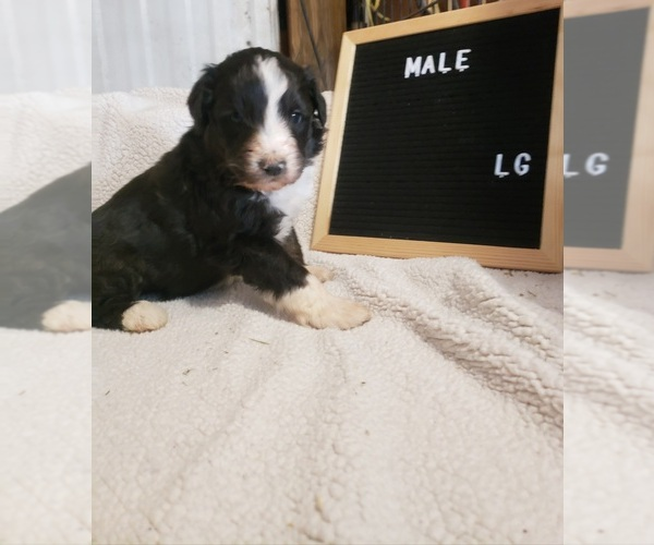 Medium Photo #9 Aussiedoodle Puppy For Sale in DERBY, IA, USA