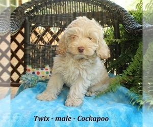 Cock-A-Poo Puppy for Sale in CLARKRANGE, Tennessee USA