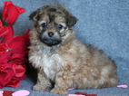Lhasapoo Puppy for Sale