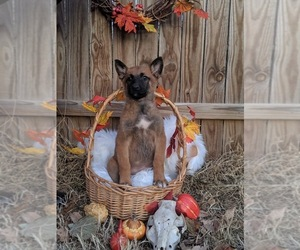 Belgian Malinois Puppy for Sale in WYNNEWOOD, Oklahoma USA