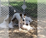 Small #13 Jack Russell Terrier