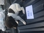German Shorthaired Pointer Puppy For Sale in BUMPASS, VA, USA
