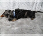 Small Photo #2 Dachshund Puppy For Sale in HAWESVILLE, KY, USA