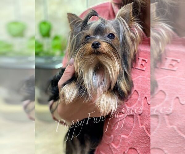 Medium Photo #1 Yorkshire Terrier Puppy For Sale in Kyiv, Kyiv City, Ukraine