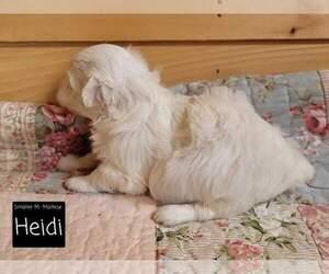 Maltese Puppy for Sale in MOUNTAIN GROVE, Missouri USA