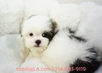 Mal-Shi Puppy For Sale in LA MIRADA, CA, USA