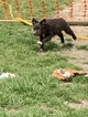 Australian Shepherd Puppy For Sale in CLINTON, NC, USA
