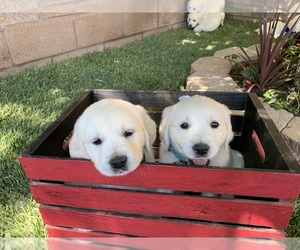 Golden Retriever Puppy for Sale in PALMDALE, California USA