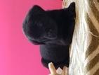 Labrador Retriever Puppy For Sale in MONTGOMERY CITY, MO, USA