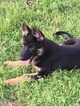 German Shepherd Dog Puppy For Sale in FIVE POINTS, AL