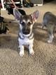 Small #22 German Shepherd Dog