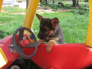 German Shepherd Dog Puppy For Sale in STAUNTON, VA