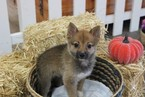 Pom-Shi Puppy For Sale in MURRIETA, CA