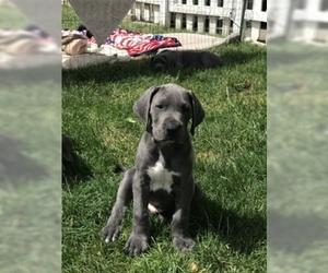 Great Dane Puppy For Sale near 94550, Livermore, CA, USA