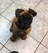 Bullmastiff Puppy For Sale in BASEHOR, KS, USA