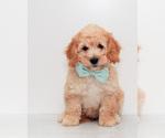 Puppy 8 Goldendoodle (Miniature)