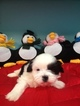 Shih Tzu Puppy For Sale in MURPHY, NC,