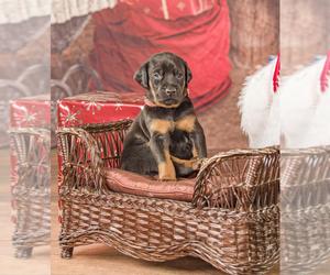 Doberman Pinscher Puppy for Sale in ONARGA, Illinois USA