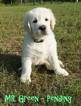 Golden Retriever Puppy For Sale in CHEBOYGAN, MI, USA