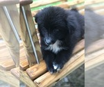 Small Photo #6 Labrador Retriever-Pomeranian Mix Puppy For Sale in SPENCER, TN, USA