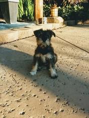 Schnauzer (Miniature) Puppy For Sale in MODESTO, CA