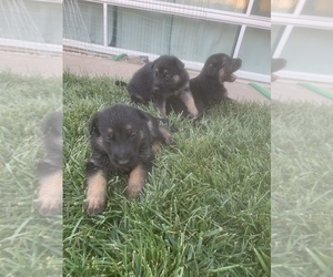 German Shepherd Dog Puppy for Sale in CITRUS HEIGHTS, California USA
