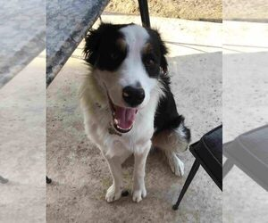 Border Collie Dog for Adoption in KYLE, Texas USA