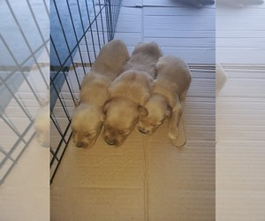 Golden Retriever Puppies for Sale near Downey, California