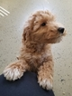 Goldendoodle Puppy For Sale in MIDDLEBURY, Indiana,
