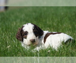 Puppy 4 Springerdoodle