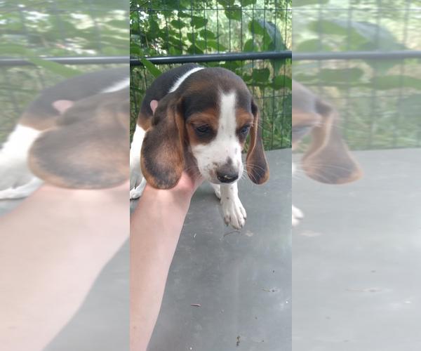 Medium Photo #18 Beagle Puppy For Sale in LAFAYETTE, IN, USA