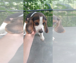 Small Photo #18 Beagle Puppy For Sale in LAFAYETTE, IN, USA