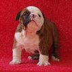 Bulldog Puppy For Sale in FORT LAUDERDALE, FL