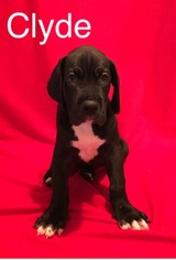 Great Dane Puppy For Sale in SAN ANTONIO, TX