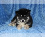 Small #3 Pomsky