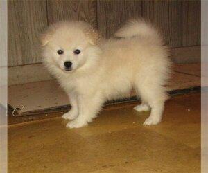 Medium American Eskimo Dog