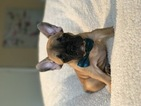 French Bulldog Puppy For Sale in LAS VEGAS, NV,