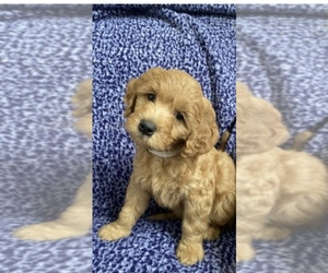 Goldendoodle Puppy for sale in CARMEL, NJ, USA